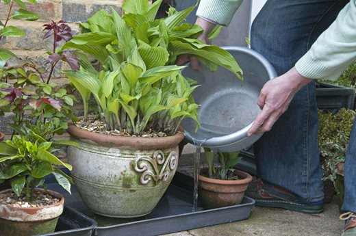 Using Grey Water On Plants Placed In A Tray To Collect Drainage Water PUB0021715